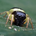 Bumblebee Jumping Spider