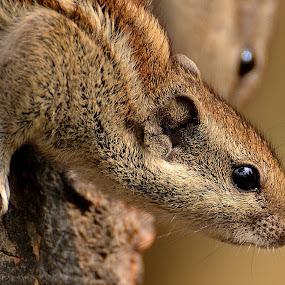 by Ajay Halder - Animals Other Mammals ( squirrel, backyardmarvels, amazingworlds,  )