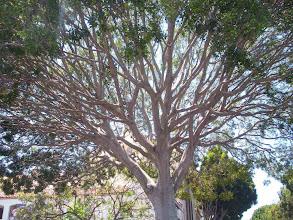 Photo: Ficus-canopy bare
