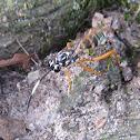 Ichneumon Wasp female