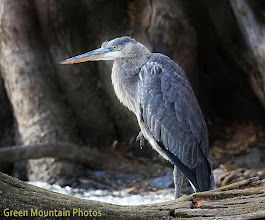 Photo: Great Blue Heron toughing it out in VT.
