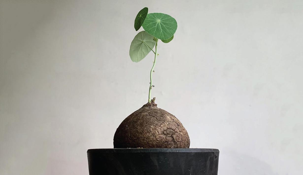 8. ต้นบัวบกหัว