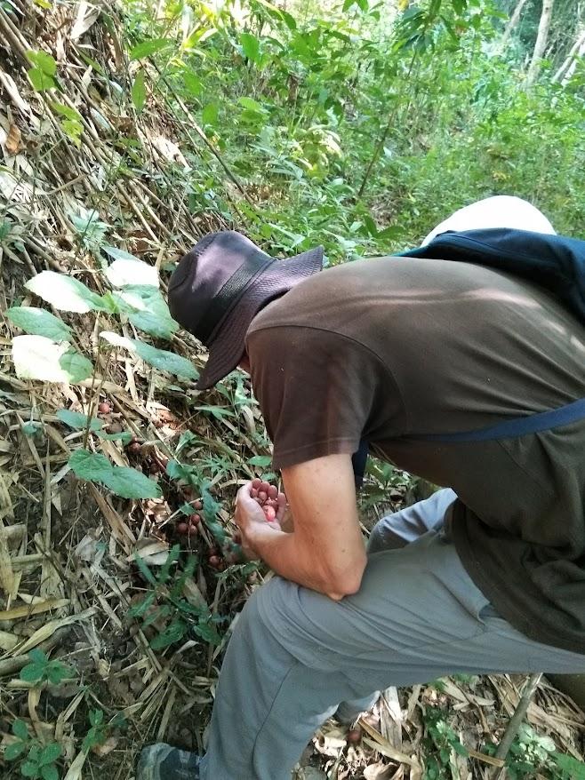 イチジク収穫