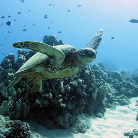 Sea Turtle by Anita Elder - Animals Sea Creatures ( sea, turtle )