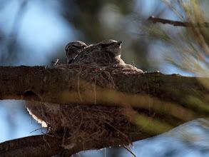 Photo: Black-faced Cuckoo-shrike chicks in nest