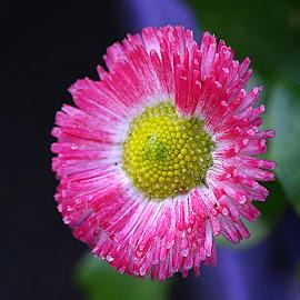 Damp Daisy by Chrissie Barrow - Flowers Single Flower ( water, stigma, single, petals, green, drops, white, daisy, pink, yellow, garden, rain, flower, syamens )
