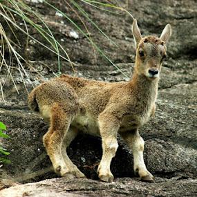 Nilgiri Tahr..!! by Nirmal Kumar - Animals Other Mammals
