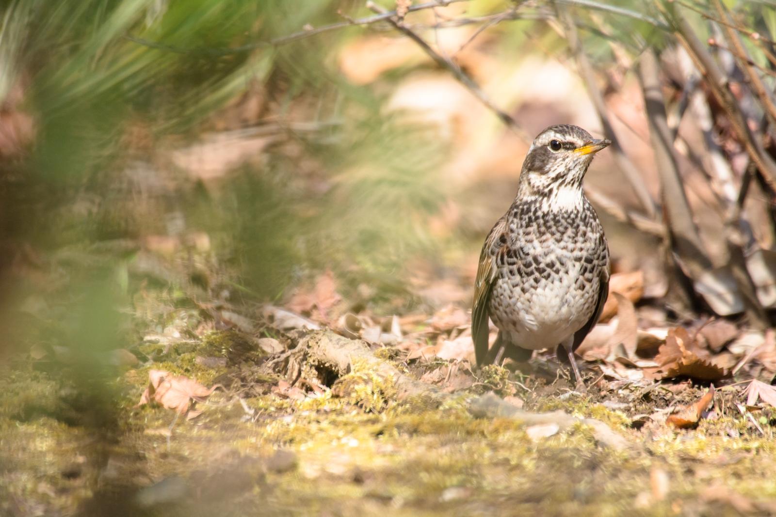 Photo: 旅立ちを前に Before departure.  カサカサカサ 茂みの奥でごはん探し 今はたっぷりとたくわえて 旅立つ前の腹ごしらえ  Dusky thrush. (ツグミ) ツグミは越冬のため、 冬に日本に渡ってきます。 また暖かくなると海を渡り 大陸へと渡っていくのです。  #cooljapan #365cooljapanmay  #birdphotography #birds  #sigma #kawaii   Nikon D7100 SIGMA APO 50-500mm F5-6.3 DG OS HSM [ Day296, March 4th ]  小鳥の詩朗読 http://youtu.be/-vn_cACufp0?list=PL2YtHGm0-R3qVsaqvQe9OYdJFCkI98wzF