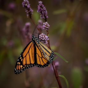 Sweet Nectar by John Finch - Animals Insects & Spiders ( monarch butterfly, animals - birds - insects - wildlife, monarch, butterflys, insects, flower,  )