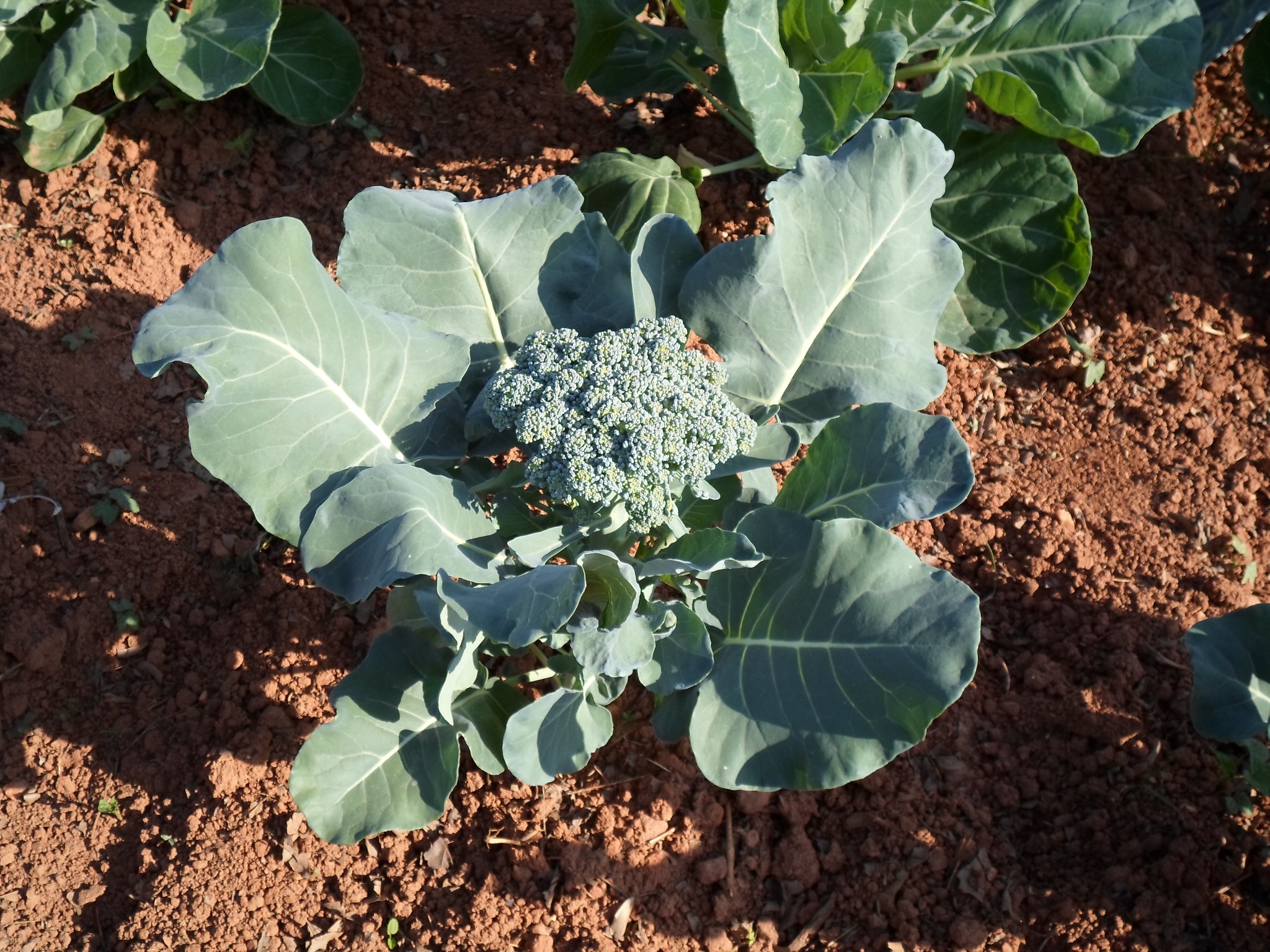 Photo: Broccoli