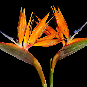 Birds of Paradise by Bill Camarota - Flowers Flower Arangements ( pair, still life, vivid, bird of paradise, flowers, flower )