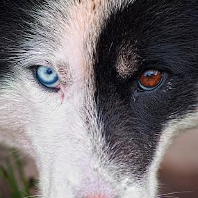 greenland dog by Tim Vollmer - Animals - Dogs Portraits ( greenland dog, tim vollmer, blue eye, husky, greenland, dog, portrait )