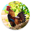 Rooster Sounds - Morning Alarm Sounds icon