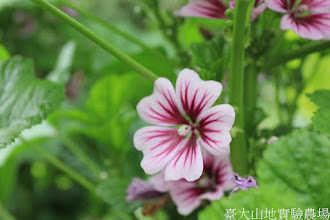Photo: 拍攝地點: 梅峰-溫帶花卉區 拍攝植物: 錢葵 拍攝日期: 2015_05_29_FY