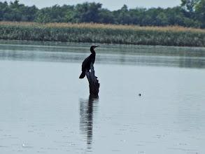 Photo: Kormorán/(Phalacrocorax carbo)/ - Poroszló - Tiszató - Cormorant/(Phalacrocorax carbo)/ -Poroszlo - Lake Tisza