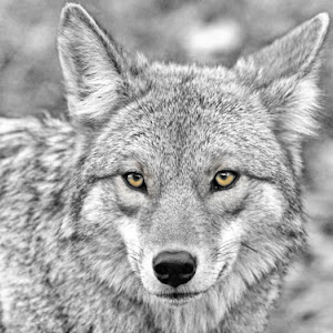 bw sel color coyote copy.jpg