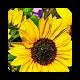 Sunflower Wallpaper HD Download for PC Windows 10/8/7