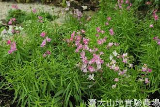 Photo: 拍攝地點: 梅峰-溫帶花卉區 拍攝植物: 柳穿魚 拍攝日期: 2013_12_20_FY
