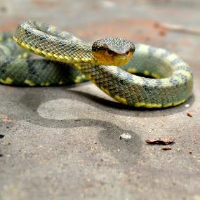 Malabar pit viper  by Madhu Soodanan - Animals Reptiles