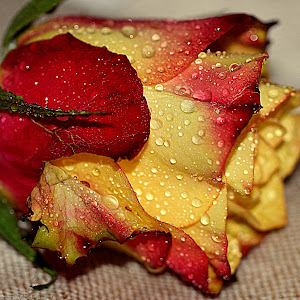 Žuto - crvena ruža.jpg
