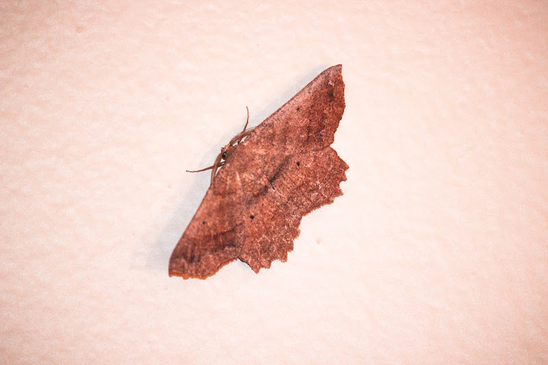 Photo: Euchlaena effecta (Effective Euchlaena moth)