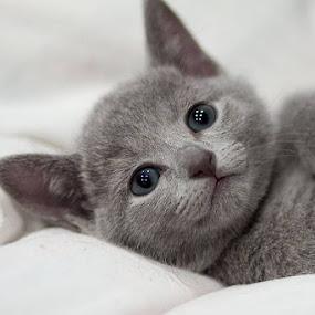 Little russian by Aleksander Cierpisz - Animals - Cats Kittens (  )