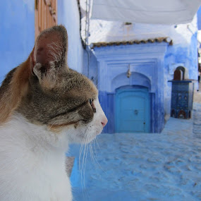 My sweet chaouen cat by Morad Taame - Animals - Cats Kittens