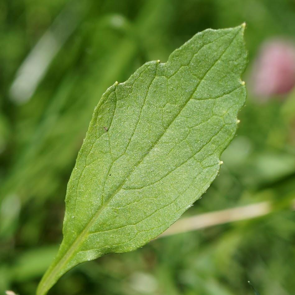 bovenste stengelblad