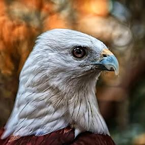 THE EAGLE EYES by Fammz Fammudin - Animals Birds ( bird, wildlife, animal )
