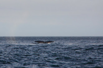 Photo: saw some humback whales on the way. never seen them in the bay, makes sense u see them out here.