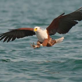 Engage! by Robert van Brug - Animals Birds ( lake malawi, 2011, african fish eagle, fishing, malawi, birds )