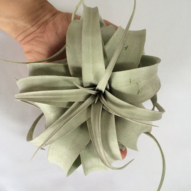 Tillandsia Xerographica Guatemala M size single plant