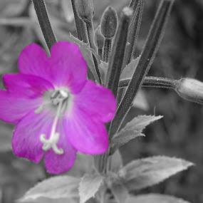 violet flower by Arif Burhan - Flowers Flowers in the Wild ( wild, violet, flower )