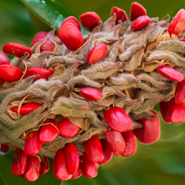 Magnolia Seeds by Judy Rosanno - Nature Up Close Other plants (  )