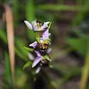 woodcock bee-orchid, Schnepfen-Ragwurz