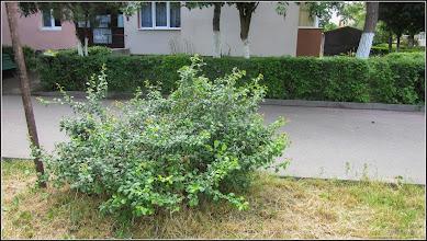 Photo: Calea Victoriei , Nr.19-21, spatiu verde - Gutui Japonez (Chaenomeles japonica) - 2017.06.07