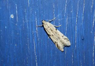 Photo: Phycitodes binaevella    Lepidoptera > Pyralidae