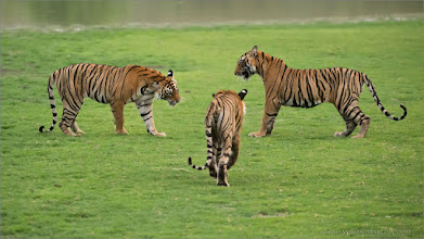 Photo: #tiger #nature   3 Tiger cubs in Battle, this was the first shot of about 8 that I can edit from this fight scene. We enjoyed one of those amazing moments that everyone can witness in Nature.  Please respect our natural world!  Raymond.   #bengal #indianature  #royalbengal  #wildlife #nature  #ranthambore  #raymondbarlow #naturephotos  #bengaltiger #tigers #wildography  #animal #animallovers #animalphotography  #nature #phototour  #raymond  #green #naturephotography  #phototours  #wildlife  #travel #adventure  #whatshot  #wildlifephotographers #wildlife  #canadianphotographer