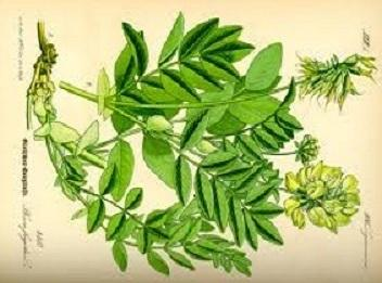 Astragalus ~ The Verdict: Helps Take it: All season longThis Chinese root is shown...