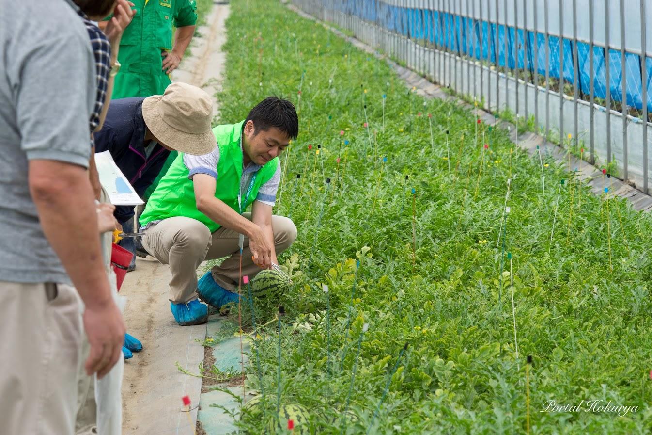 ひまわりスイカの収穫の実演