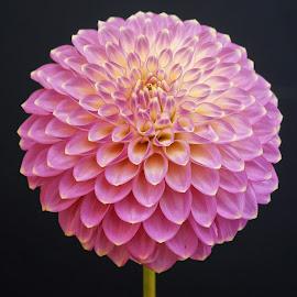 Petal patterns by Jim Downey - Flowers Single Flower ( gold, dahlia, violet, black, petals )