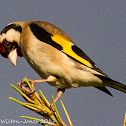 Goldfinch; Jilguero