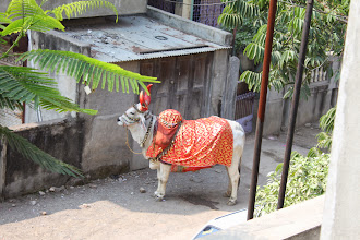 Photo: A mysterious cow dressed up in orange robe has arrived. Someone said she belonged to a fortune teller. Hope the fortune teller cares for her fortune the most! 12th November updated -http://jp.asksiddhi.in/daily_detail.php?id=360