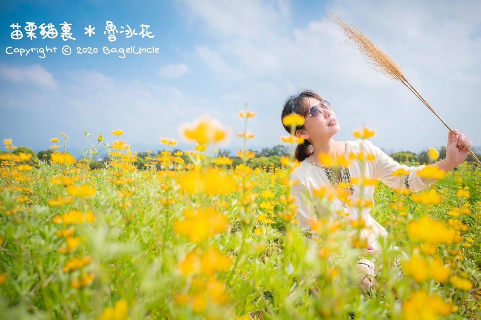 【旅遊】2020年 苗栗貓裏 魯冰花季開跑囉! 現在賞花正是時候