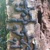 Black Wart fungus