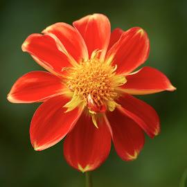 Dahlia 9950~ by Raphael RaCcoon - Flowers Single Flower
