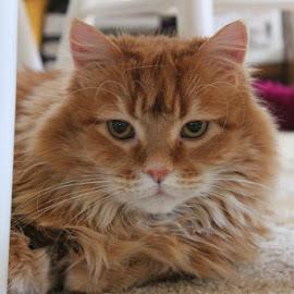 HOWIE  by Jackie Schoenecker - Animals - Cats Portraits ( cats, pretty boy, howie, portraits, posing,  )