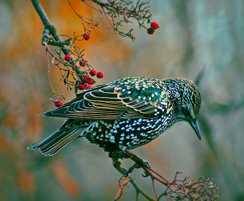 Starr feeding on the last Autumn berry´s... by Kristján Karlsson - Animals Birds