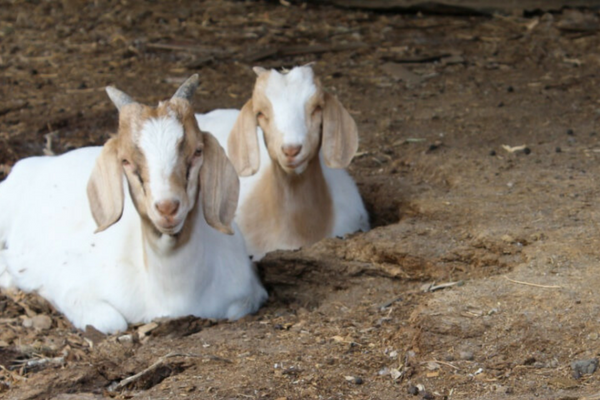 young commercial meat goats laying down