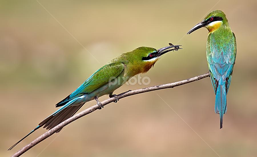 Fore My Love by Jineesh Mallishery - Animals Birds ( bird, bea, wildlife, bletailed bea eater, jineesh )